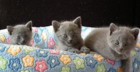 Foto 7 Chartreux, reinrassige Kartäuser Kitten