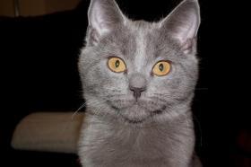 Foto 12 Chartreux, reinrassige Kart�user Kitten