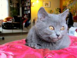 Chatreux - Kartäuser - Kater : ''Murli''  3,5 Mo