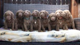 Chesapeake Bay Retriever mit Papiere (braun als LR)