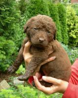Chesapeake Bay retriever Welpen