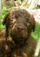 Foto 2 Chesapeake Bay retriever Welpen