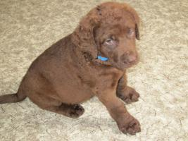 Foto 3 Chesapeake Bay retriever Welpen