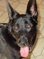 Chester, Sch�ferhundmischling