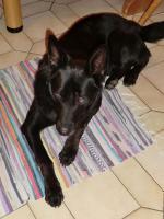 Foto 2 Chester, Sch�ferhundmischling