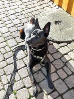Foto 5 Chester, Sch�ferhundmischling