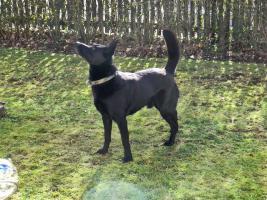 Foto 9 Chester, Sch�ferhundmischling