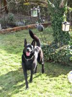 Foto 10 Chester, Sch�ferhundmischling