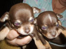 Foto 3 Chihuahua