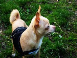Foto 2 Chihuahua