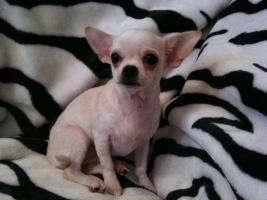 Foto 4 Chihuahua
