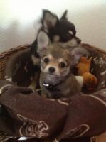 Chihuahua 11 Wo.
