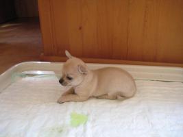 Foto 3 Chihuahua Babies