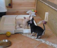 Foto 4 Chihuahua Babies