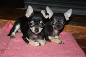 Foto 3 Chihuahua Babys