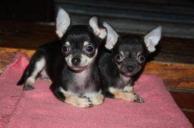 Foto 4 Chihuahua Babys