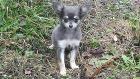 Chihuahua Blau sehr selten