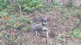 Foto 2 Chihuahua Blau sehr selten