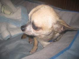 Foto 2 Chihuahua Deckrüde