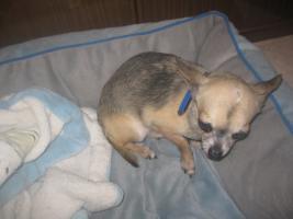 Foto 3 Chihuahua Deckrüde