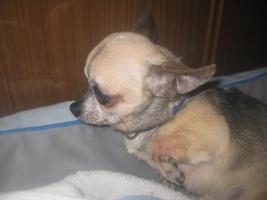 Foto 4 Chihuahua Deckrüde