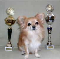 Foto 3 Chihuahua Deckrüde Int.Ehrenchamp. silber hat noch Termine frei
