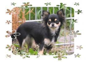 Chihuahua Hündin
