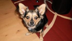 Chihuahua Hündin 1 Jahr alt( Gina)
