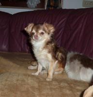 Foto 2 Chihuahua Hündin 6 Monate