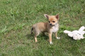 Chihuahua Hündin in Kurzhaar