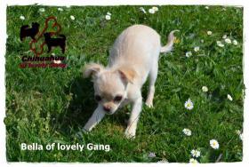 Foto 2 Chihuahua Hündin creme-weiß 17 Wochen sucht liebevolles zu Hause!