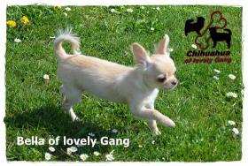 Foto 3 Chihuahua Hündin creme-weiß 17 Wochen sucht liebevolles zu Hause!