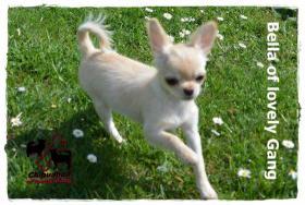 Foto 4 Chihuahua Hündin creme-weiß 17 Wochen sucht liebevolles zu Hause!