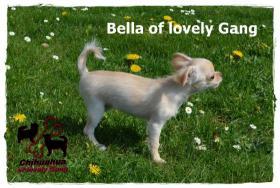Foto 6 Chihuahua Hündin creme-weiß 17 Wochen sucht liebevolles zu Hause!