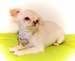 Foto 9 Chihuahua Hündin creme-weiß 17 Wochen sucht liebevolles zu Hause!