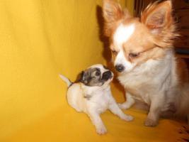 Foto 3 Chihuahua Hündin sucht liebevolle Besitzer