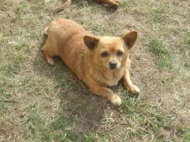 Chihuahua Hündin sucht neues Zuhause