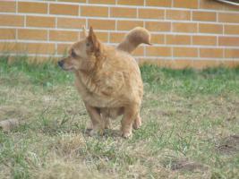 Foto 3 Chihuahua Hündin sucht neues Zuhause