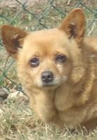 Foto 4 Chihuahua Hündin sucht neues Zuhause