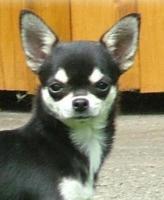 Chihuahua Junghündin FCI abzugeben