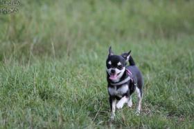 Foto 2 Chihuahua Junghündin FCI abzugeben