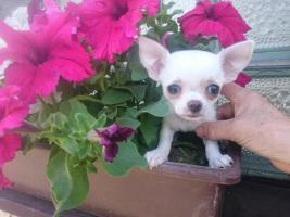 Chihuahua Kurzhaar Rüde mit Papiere