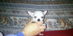 Chihuahua Kurzhaar Welpen mit Stammbaum