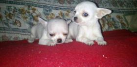 Foto 2 Chihuahua Kurzhaar Welpen mit Stammbaum