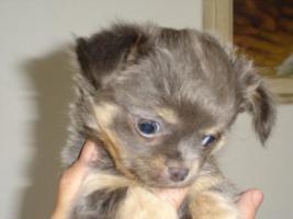 Chihuahua Langhaar Hündin mit Papiere FCI