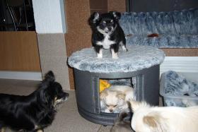 Foto 3 Chihuahua Langhaar mit Papiere