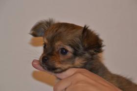 Foto 2 Chihuahua Langhaar mit Papiere Welpe, Rüde