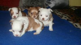 Foto 2 Chihuahua Langhaar weiß mit Schokolade Zeichen, bluemerle