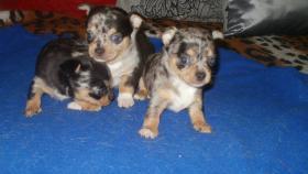 Foto 4 Chihuahua Langhaar weiß mit Schokolade Zeichen, bluemerle