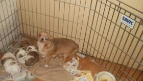 Foto 5 Chihuahua Langhaar weiß mit Schokolade Zeichen, bluemerle
